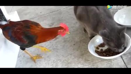 死了都要吃一口猫食! 大公鸡和猫咪的大战, 谁会赢?
