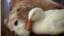 这只金毛最好的朋友竟然是一只鸭子,它们形影不离的嬉戏玩耍!