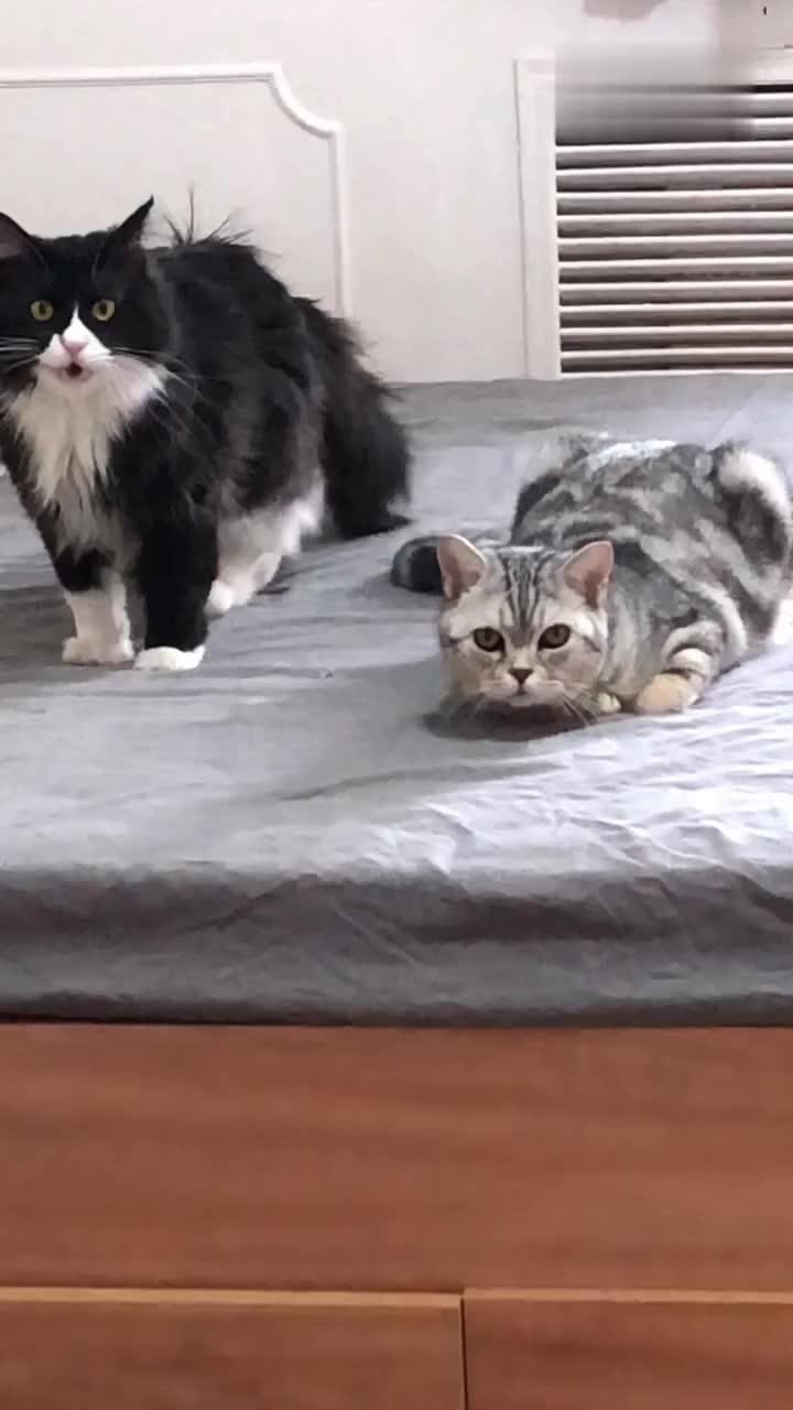 一只像嗯哼大王的小猫咪,给它起名叫啊哈,还会跟铲屎官聊天!