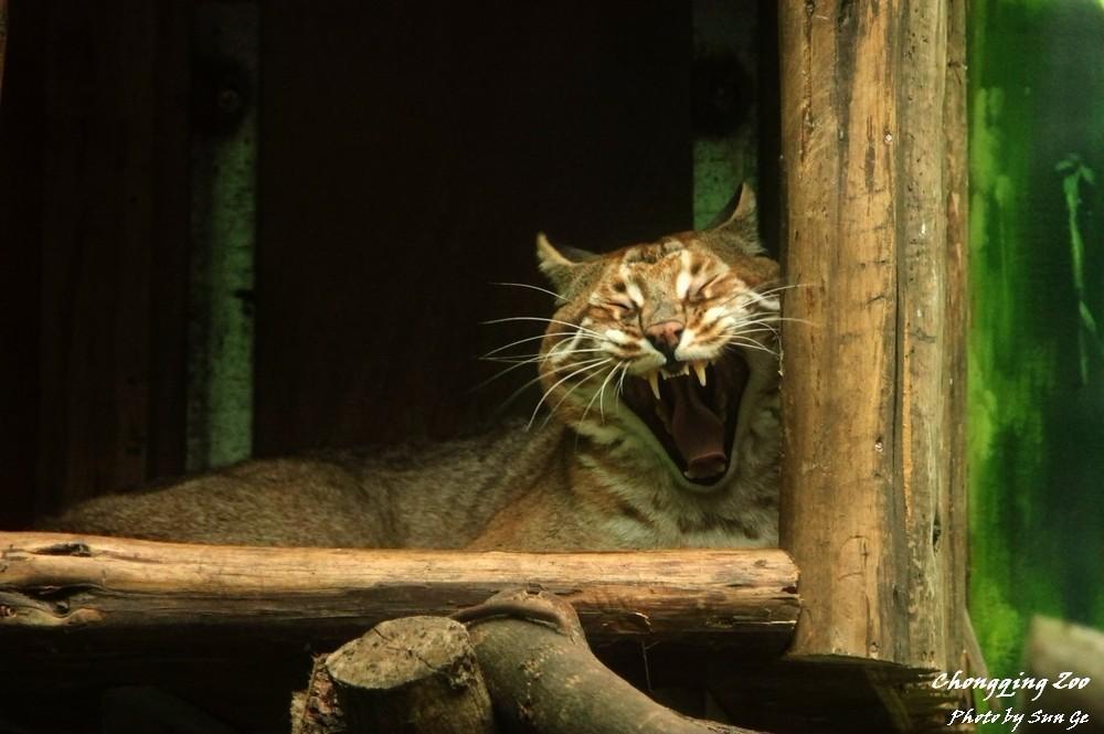 我扫视全场,目光落到墙上的巢箱中,一团红棕色的猫科动物正卧在其中闭