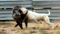 野猪泛滥成灾,遭武装到牙齿的猛犬奇袭,主人只管终结一击