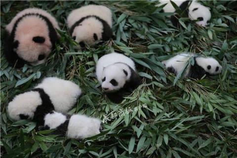 19只新生熊猫宝宝集体出街 抱腿撒娇卖萌小可爱