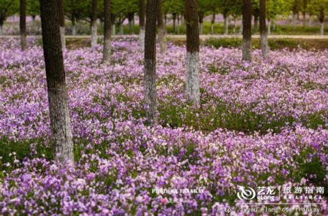 路边的风景: 京西二月兰花海