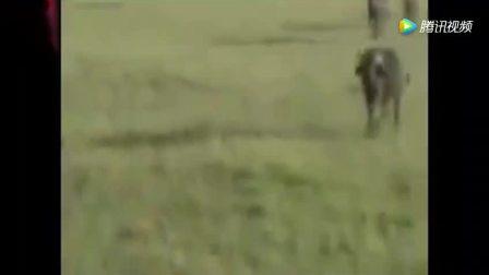 鬣狗捕食野牛 狮子追杀长颈鹿不成 反遭一脚踢个半死太厉害了