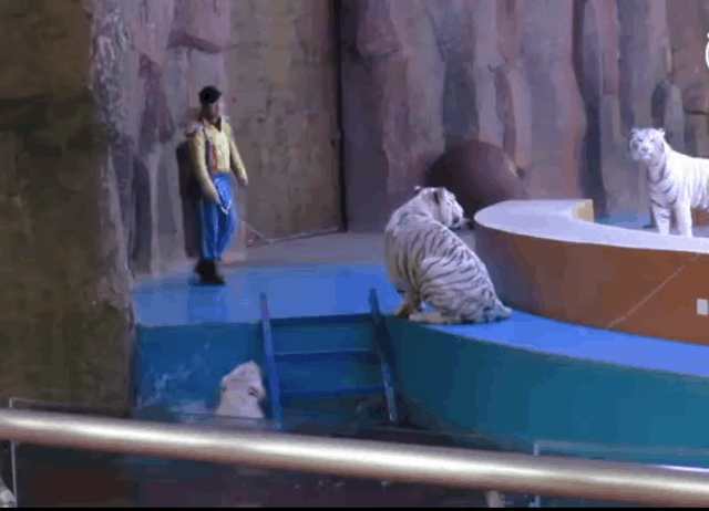 野生动物世界动物表演被虐打 其他同伴过来救落水白虎最暖心
