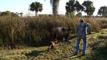 男子携标枪大战野猪,直接被野猪拱飞
