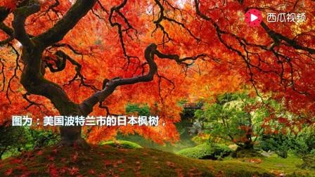 壁纸 枫叶 红枫 树 448_252