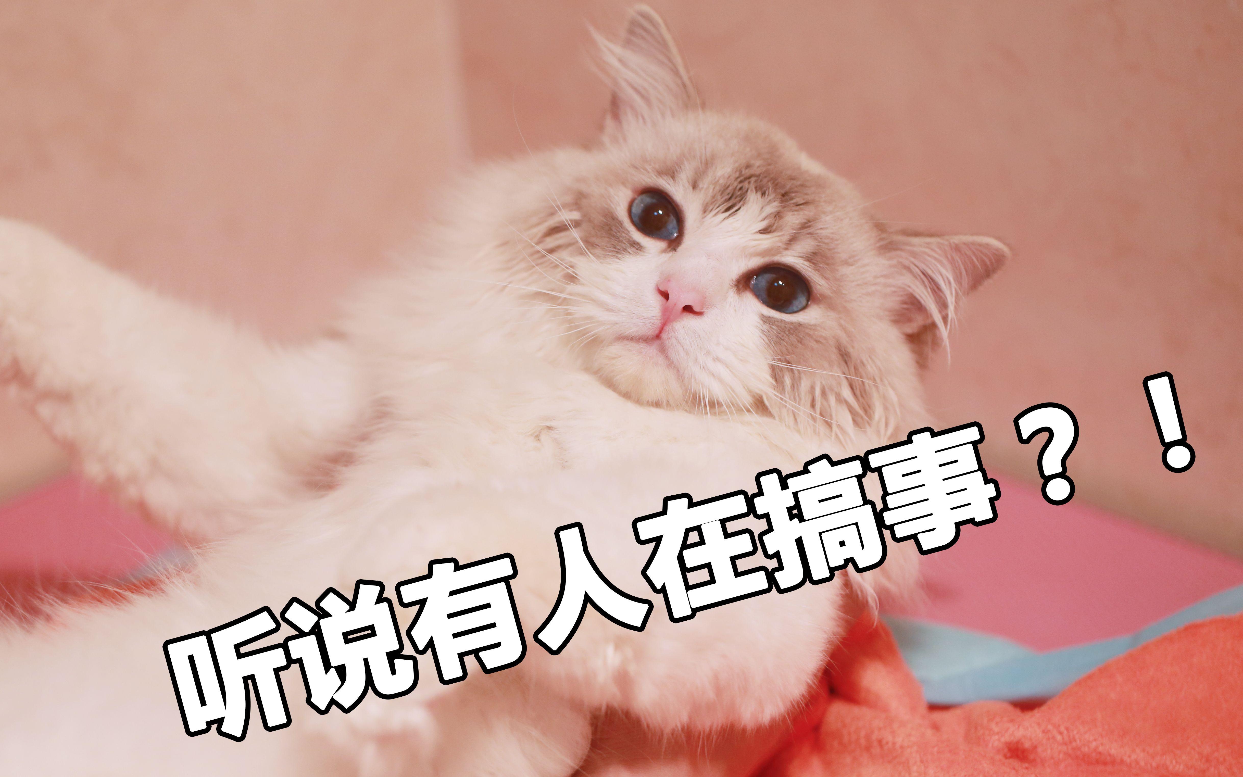 布偶猫 咪咪与金毛哈迪