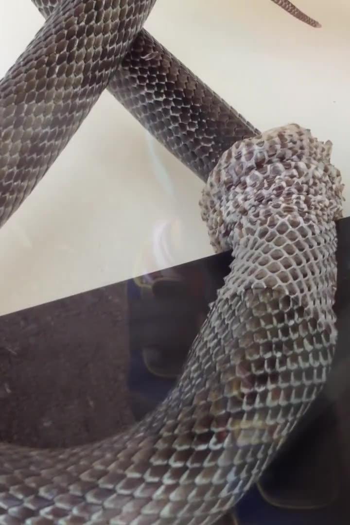 蛇太大了,脱皮都要很长时间