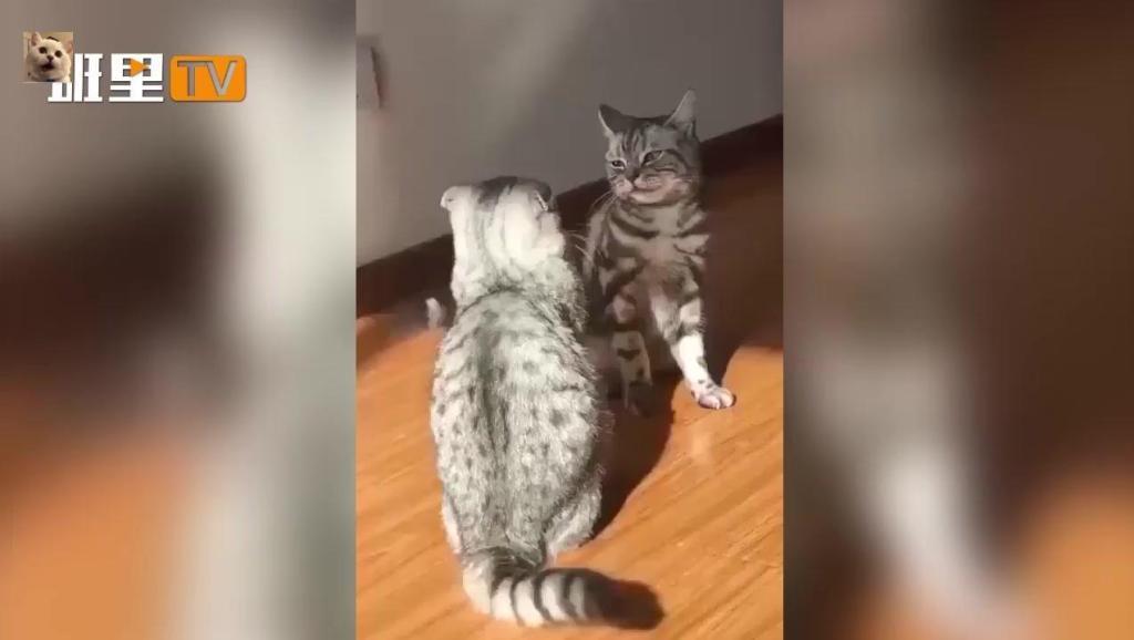 【猫咪】两只猫咪打架,一只使出了绝技过肩摔!另一只立即老实了。。。