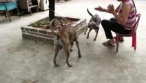越南农村土狗是这样配种的,长知识了,母狗一脸不赖状