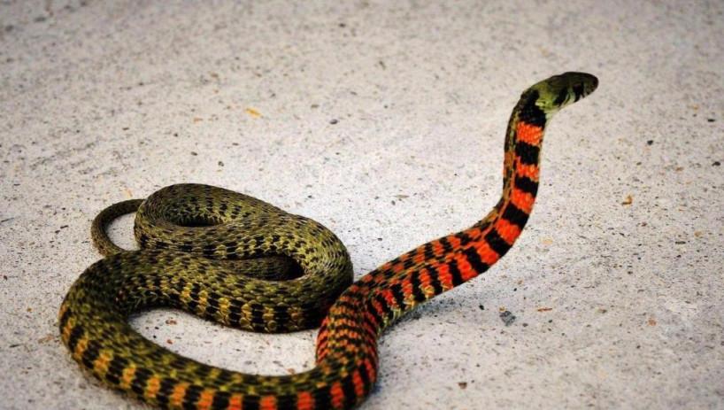 世界上毒性最强的蛇,毒性更是响尾蛇的700倍!