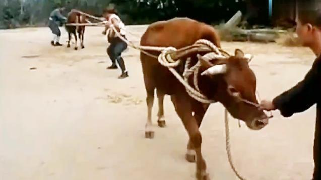 二牛分尸?少林武僧徒手硬拉两头蛮牛竟纹丝不动