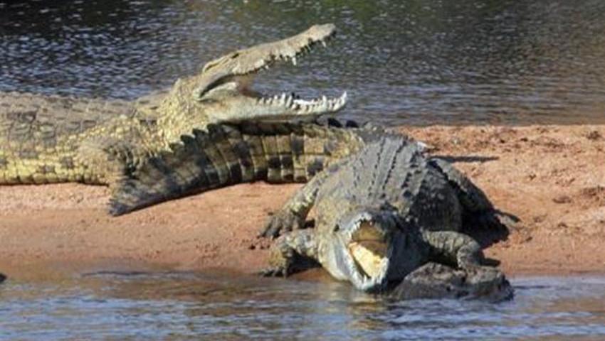 猛虎在河边喝水遭到鳄鱼的埋伏,场面相当激烈