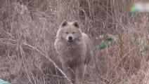 萨摩耶被抛弃野外,它坚强的活着,看到其他狗狗它竟然
