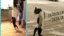 是时候表演真正的绝活了!奶牛猫~猫中的哈士奇!