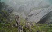 四川首次拍到4只雪豹同框画面