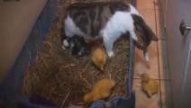 猫咪把宝宝生在了鸭窝里,多了几个娃,一脸懵!