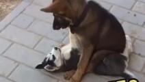 二哈被土狗按在地上摩擦,柯基出手相救,结果谁也没想到