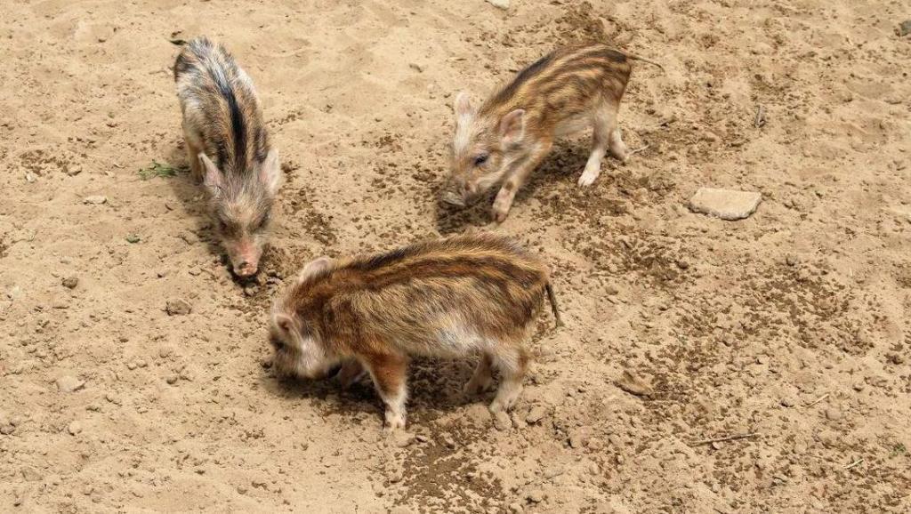 刚出生没多久的小野猪就遇上花豹和野狐狸的猎杀