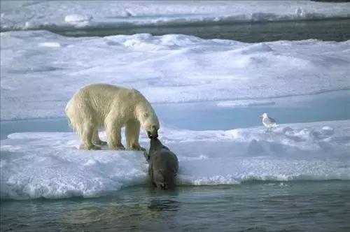 """北极熊v鼻子过来""""死海象"""",不想鼻子突然""""活试探""""扇子的海象像大象造句图片"""