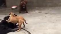 藏獒VS比特: 藏獒又一次败倒在比特犬脚下