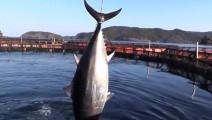 看日本大厨如何切50斤重的金枪鱼!这是一项技术活