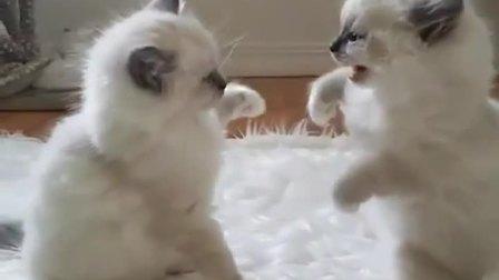 两只小奶猫打架,又萌又凶