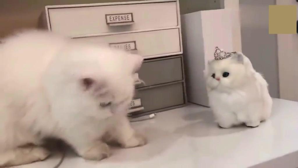 反应暖哭!主人送给猫咪一只布偶猫,它认为是自己的孩子