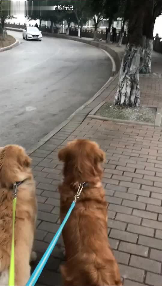 汪星人萌宠#日常遛狗