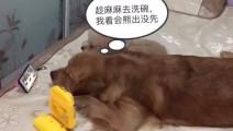 金毛乘女主人去洗碗,偷偷看熊出没,泰迪一个眼神金毛无地自容!