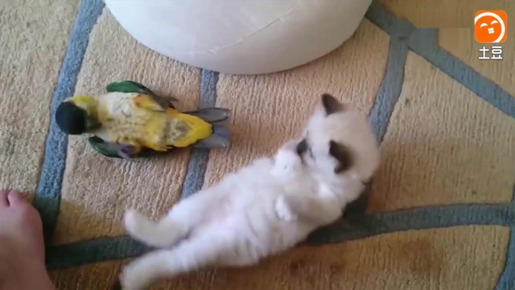 鹦鹉招惹猫咪被打倒地装死,简直是鸟中的影帝,打不过还学会碰瓷了