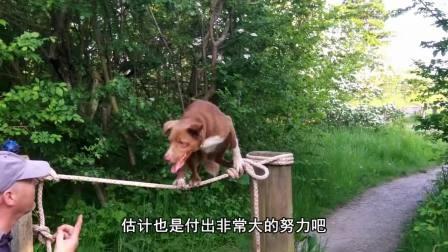 比起只会拆家的二哈 这只聪明的狗狗完胜 它能高空走绳索