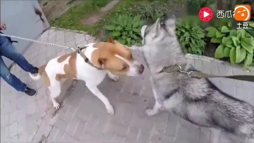 两只二哈叫嚣比特犬,比特发怒的那一刻哈士奇懵了