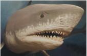 强大到能捕食鲸鱼 史上最大的鲨鱼是它