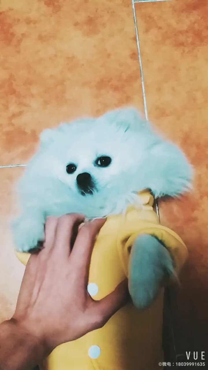全世界最可爱的博美犬:boo!