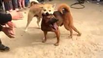 动物世界 这样残忍的土狗比赛第一次见,身上伤痕累累的主人...