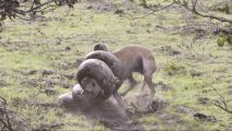 实拍狗狗遭遇蟒蛇袭击痛苦挣扎,看狗狗能否蛇口逃生?
