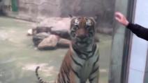 狮子老虎野生食肉动物,看见人类小宝宝会是什么反应