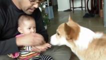 小宝贝想摸狗狗又不敢,可柯基犬的反应让爸爸乐坏了