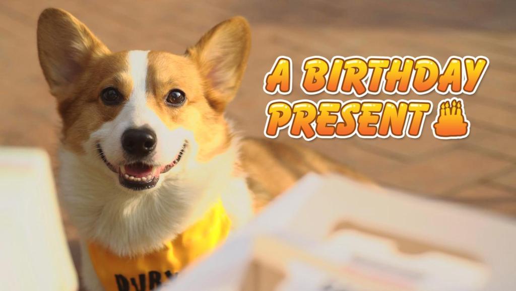 小柯基Duby精心给女朋友挑选了生日礼物,结果被直接扔脸上