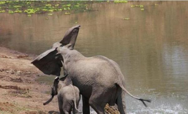 大象妈妈喝水被鳄鱼咬住鼻子不放, 机智的小象一招制敌, 救了妈妈