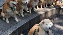 柴犬在拍全家福照,其中混进去了一只奇怪的动物!