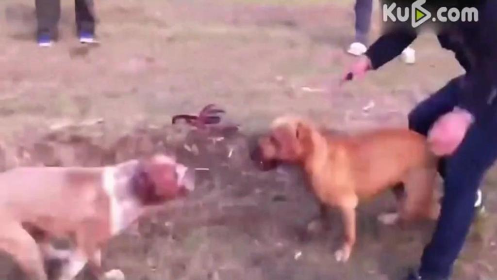 农村斗狗: 日本土佐犬对战美国比特犬,土狗对藏獒场面太火爆了!