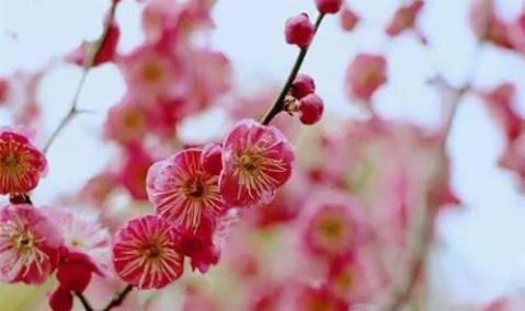剩下10%的梅花品种为腊梅,白梅和绿梅,白梅皆是百年老树,当梅花全面