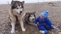 最暖心的狗狗视频,黑贝打头阵,哈士奇领衔主演,心都萌化喽