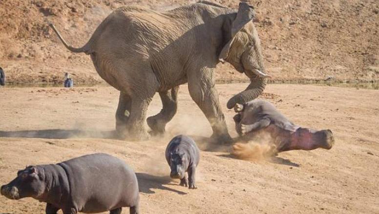小象在池塘边玩耍,里面的河马不乐意了,接下来的画面河马尴尬了