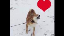 柴犬又来秀它神奇的脑回路啦!这是在咬落雪吗?