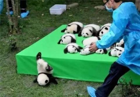 大熊猫是易危动物,借此提醒人类,尊重自然,保护我们的地球家园.