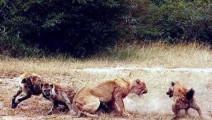 可恶的鬣狗尽然谁都敢欺负,这次将让你死的惨不忍睹!